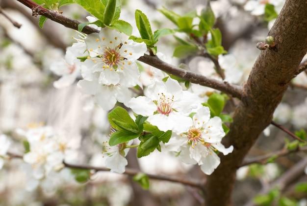 Fleurs blanches de prunier.