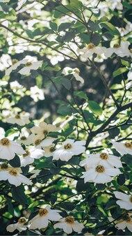 Fleurs blanches qui fleurissent sur un arbre fond d'écran d'écran mobile