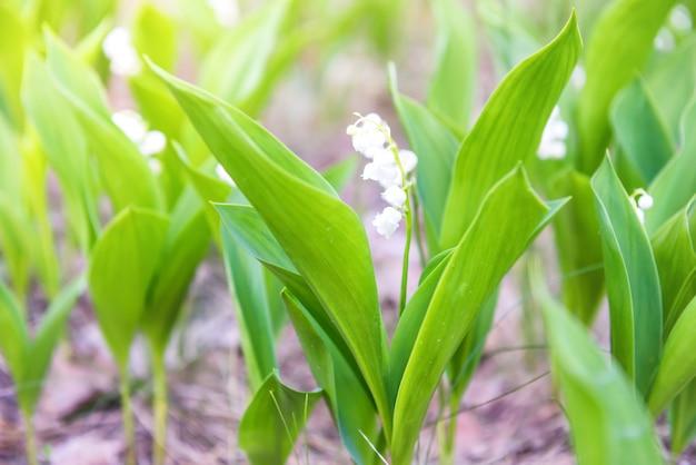Fleurs blanches sauvages muguet dans la forêt, macro close up