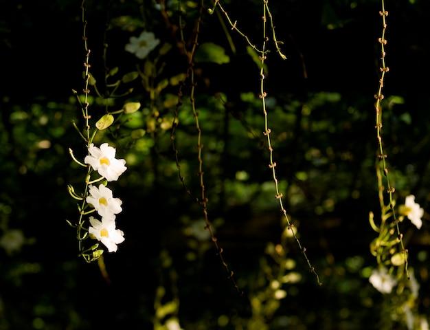 Fleurs blanches et vignes à bali