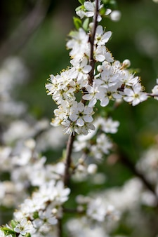 Fleurs blanches.