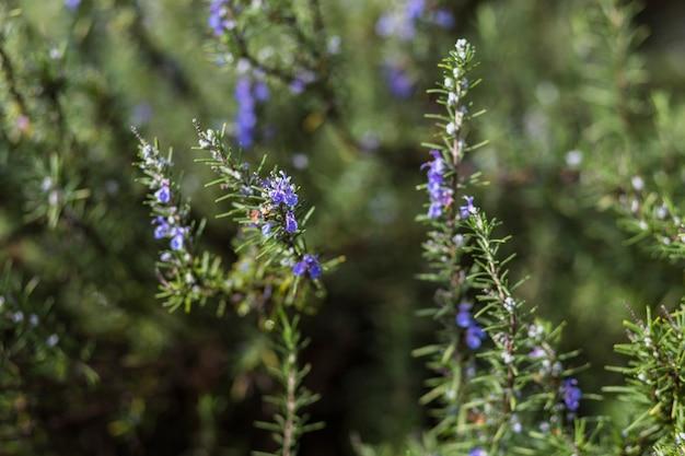 Fleurs bleues sur des brindilles de conifères