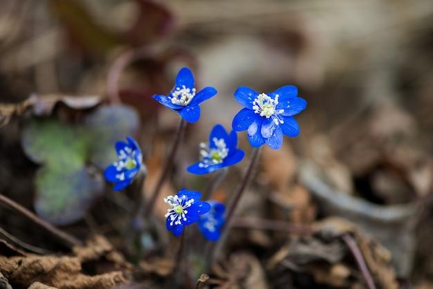 Fleurs bleues d'hepatica nobilis close-up