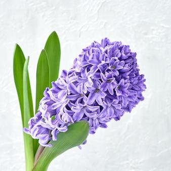 Fleurs bleues en jacinthe