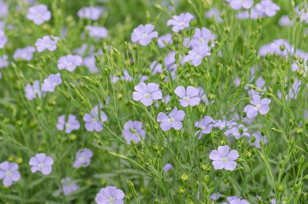 Fleurs bleues de lin