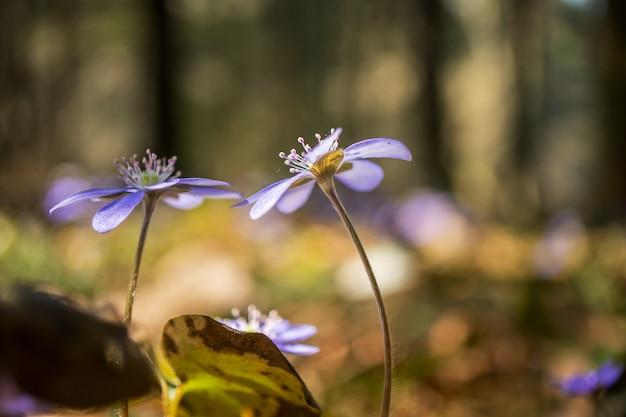 Fleurs bleues de printemps dans la forêt concept de printemps macro soft focus
