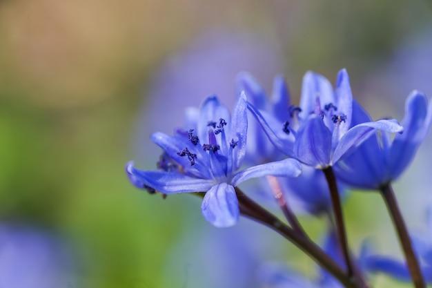 Fleurs bleues de scilla squill qui fleurissent en avril
