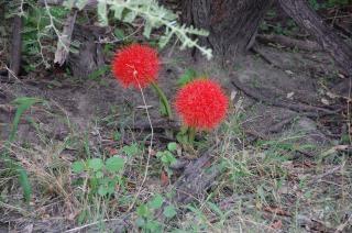 Fleurs botswana, la jungle