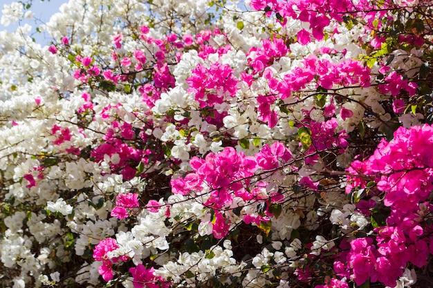 Fleurs de bougainvilliers blancs et roses. fleur de jardin
