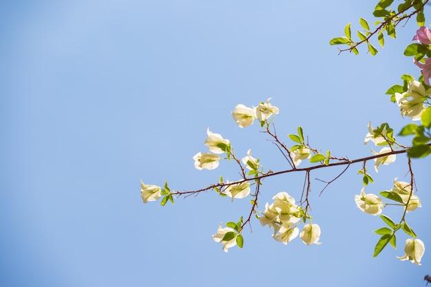 Fleurs de bougainvilliers sur fond de ciel bleu