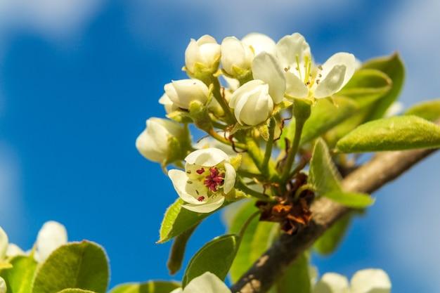 Fleurs et bourgeons au début du printemps sur une branche de poirier dans le jardin
