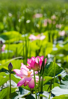 Fleurs et bourgeons de lotus. miracle rose.