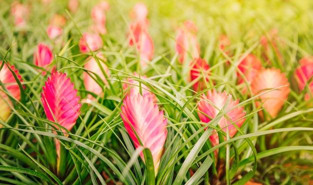 Fleurs de broméliacées vriesea rouges magnifiques en pépinière