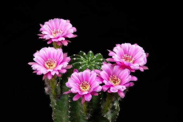 Fleurs de cactus en fleurs couleur de rose hybride d'echinopsis
