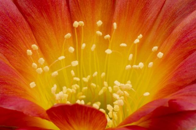 Fleurs de cactus en fleurs plein cadre couleur jaune-rouge