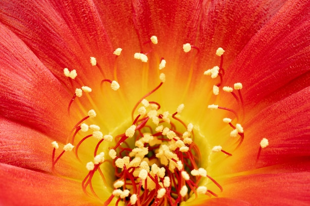 Fleurs de cactus en fleurs, plein cadre, couleur rouge