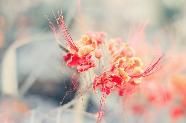 Fleurs de caesalpinia de couleur rouge fleurs tropicales et exotiques