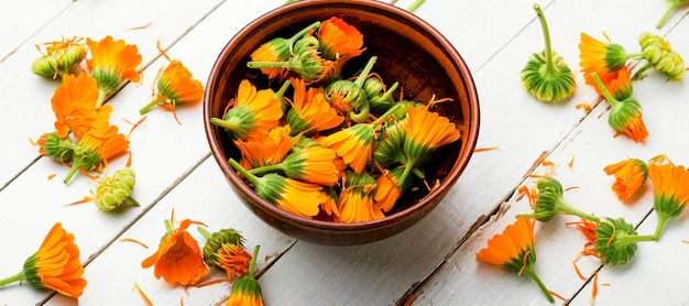 Fleurs de calendula fraîches en phytothérapie.souci,herbes médicinales.phytothérapie chinoise