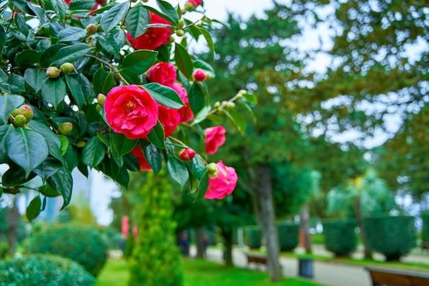 Fleurs de camélia en fleurs dans le parc de la ville.