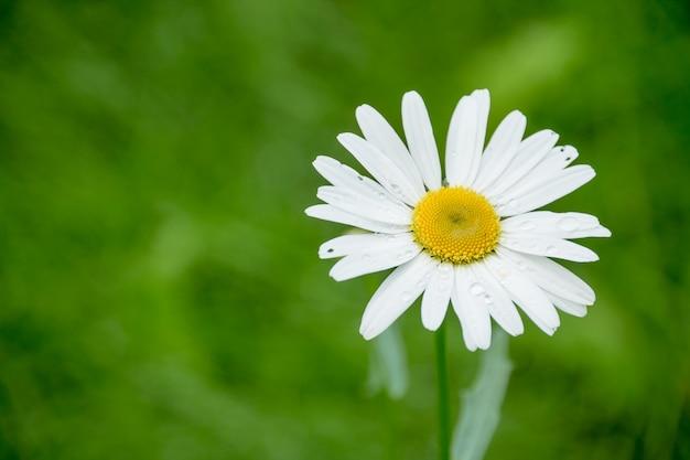 Fleurs de camomille. camomille blanche. scène de la nature avec la fleur de camomille médicale en plein soleil.
