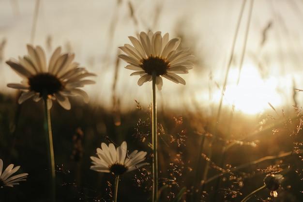 Fleurs de camomille dans le jardin d'été. paysage rural avec marguerite au soleil. saison d'été