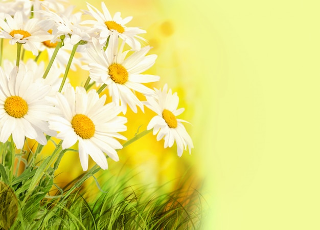 Fleurs de camomille sur fond d'été coloré avec espace de copie.