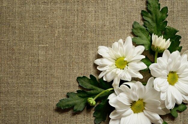 Fleurs de camomille sur fond de toile grise
