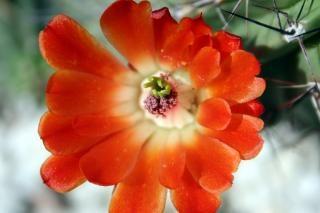 Fleurs catus