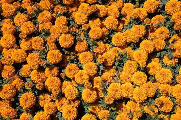 Fleurs de cempasuchil