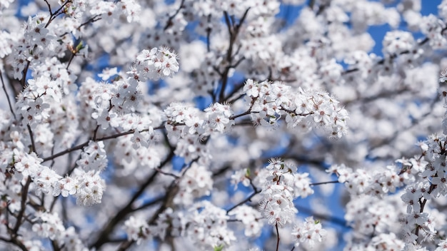 Fleurs de cerisier au printemps belles fleurs blanches contre le ciel bleu