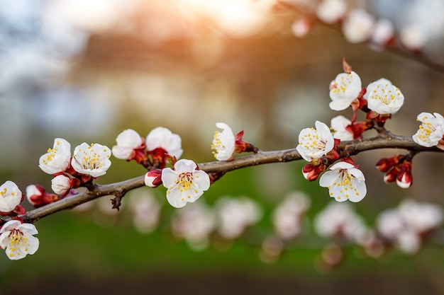 Fleurs de cerisier au printemps.