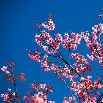 Fleurs de cerisier avec une belle couleur d'arrière-plan