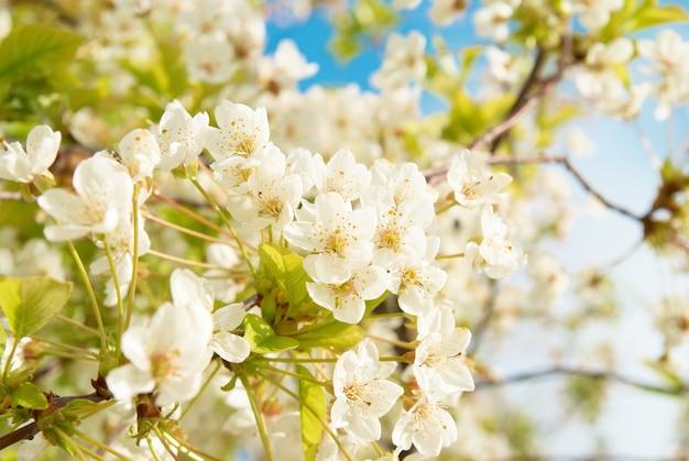 Fleurs de cerisier blanc avec fond de ciel bleu