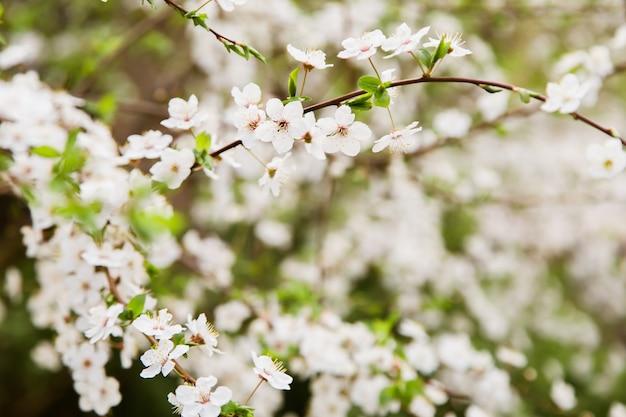 Fleurs de cerisier blanc qui fleurit sur une branche