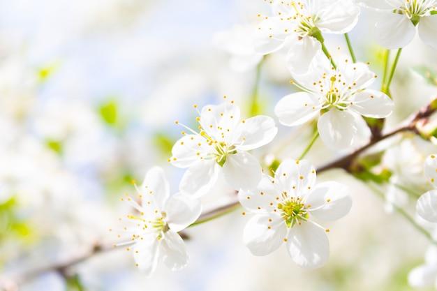 Fleurs de cerisier blanches étonnantes sur les branches en gros plan et faible profondeur de champ feuilles vertes entre les fleurs printemps nature concept