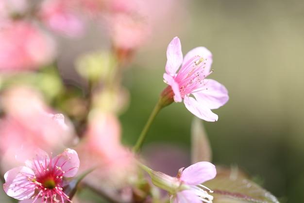 Fleurs de cerisier, fleur de sakura en gros plan