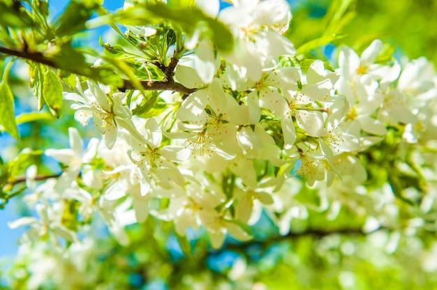 Fleurs de cerisier fleurissant sur un cerisier de printemps. floraison prune cerise.