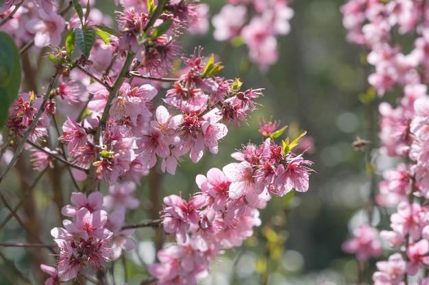 Fleurs de cerisier en fleurs avec fond flou