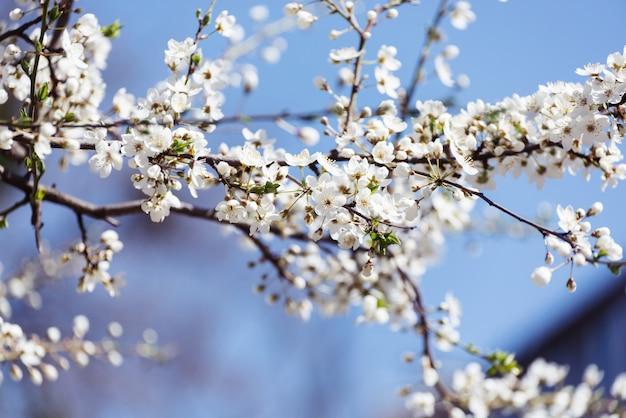 Fleurs de cerisier fleurs de printemps blanc closeup soft focus printemps fond saisonnier