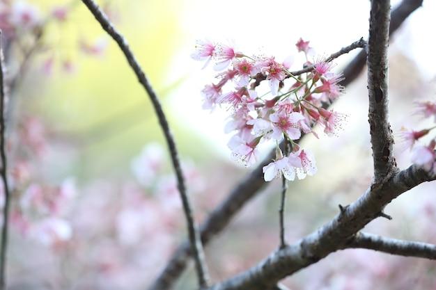 Fleurs de cerisier, fleurs de sakura