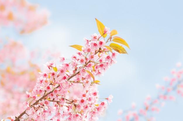 Fleurs de cerisier de l'himalaya sauvage au printemps sur ciel bleu sur la montagne en forêt