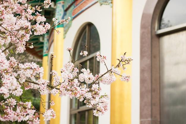 Fleurs de cerisier en pleine floraison au temple de tianyuan, taipei, taiwan