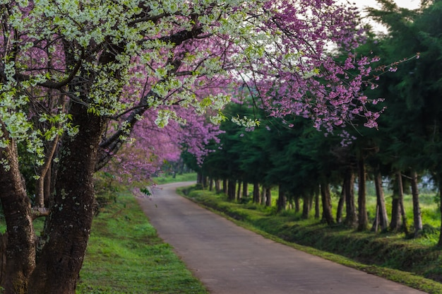 Fleurs de cerisier en pleine floraison