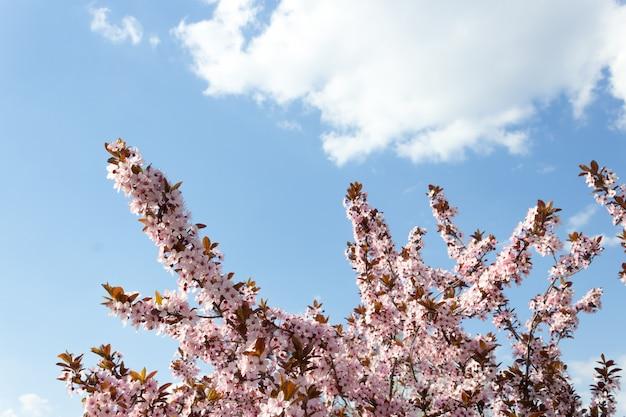 Fleurs de cerisier de printemps, fleurs roses.