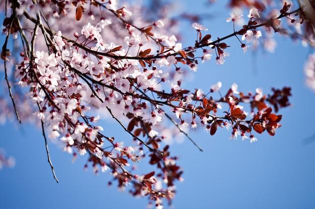 Fleurs de cerisier de printemps