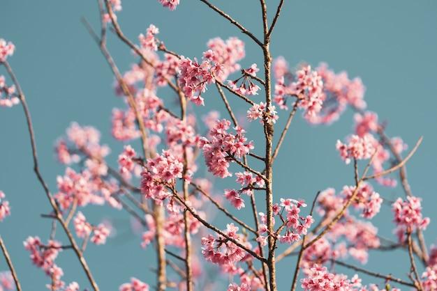Fleurs de cerisier rose pastel