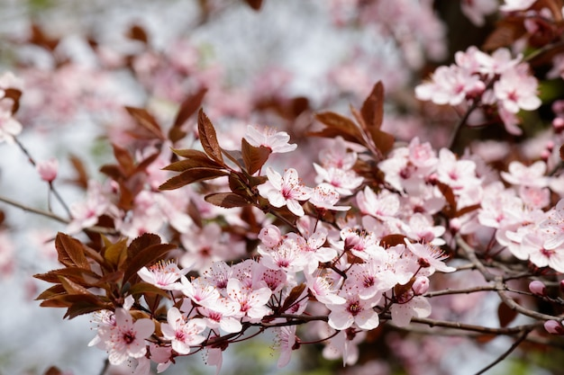 Fleurs de cerisier rose qui fleurit sur un arbre