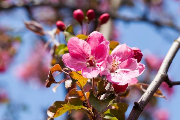 Fleurs de cerisier roses au printemps