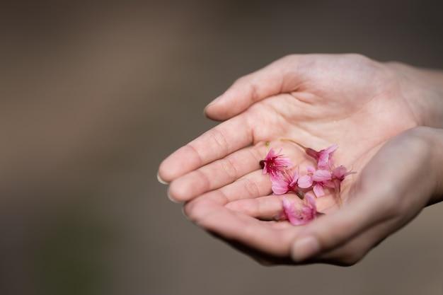 Fleurs de cerisier roses (thai sakura) dans la main de la femme