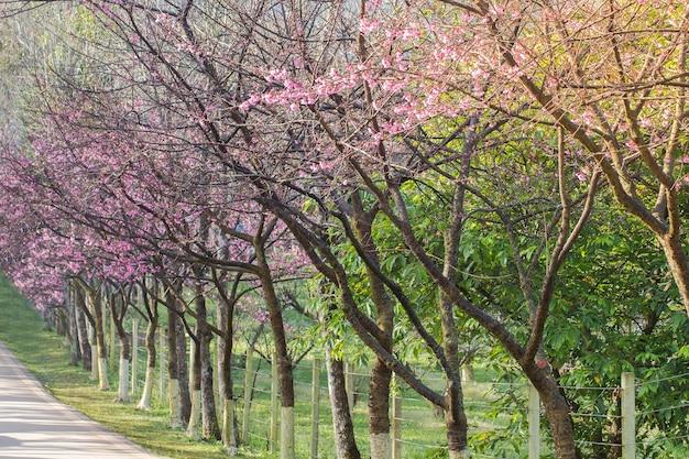 Fleurs de cerisier ou de sakura à la montagne doi angkhang, thaïlande